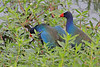 First of 8 images of another Gallinule encounter. They mated at close range to me- maybe 30 feet max.