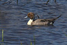 Male Pintail Duck, 2-11-2012, Rockport.