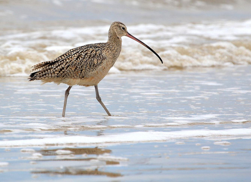Long-billed Curlew, Bolivar Flats, Texas Janaury 25, 2012.