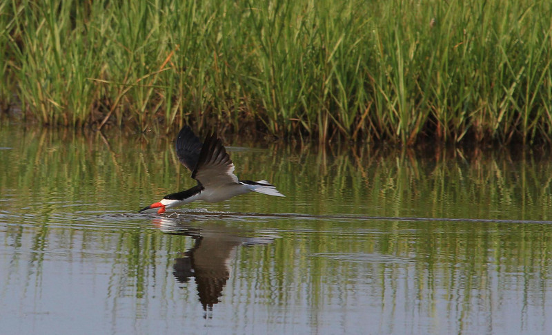Black Skimmers catch small fish on the fly by quickly closing their bills when they strike one. Galveston, Texas May 21, 2012.