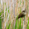 Reed Warbler, Acrocephalus scirpaceus