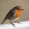 Robin sunning itself in early spring
