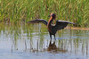 Reddish Egrets will hold out their wings like this and scoot around the shallow water of a salt-water marsh pond, fishing.