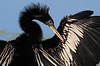 Same Anhinga, May 3, 2012. It stayed there for about 15 minutes or more.