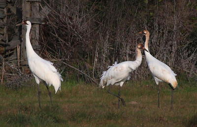 Whooping Cranes, Rockport, Texas Feb 11,2012.