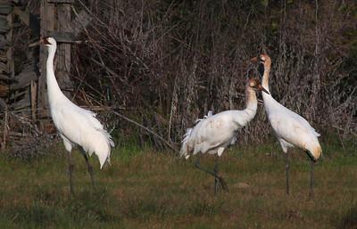 Whooping Cranes, Rockport, Texas Feb 11,2012.