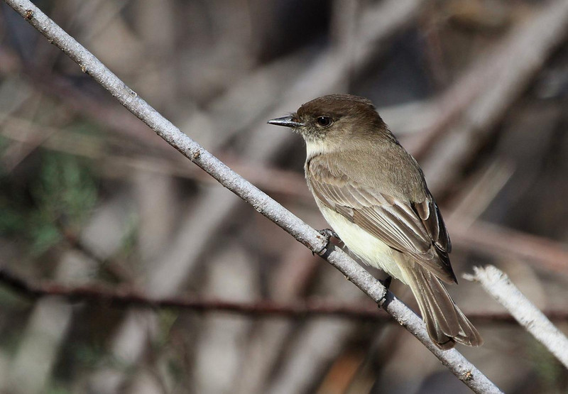 Eastern Phoebe, Rockport, Texas Feb 11,2012.