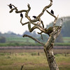 A crow-laden tree: Pagham harbour