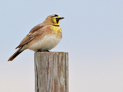 Horned Lark, Bolivar Peninsula, January 25, 2012