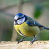 Bluetit in Badgers wood