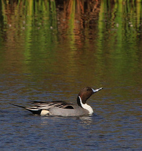 Pintail, Rockport, Texas February 2012.