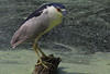 Black-crowned Night Heron. Distance was about 25 feet.