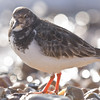 Turnstone.   Arenaria interpres