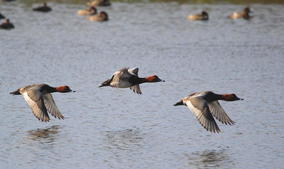 Three Redheads take off from Rockport pond, Feb 11, 2012.