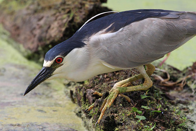 Black-crowned Night Heron from about 18 feet away.