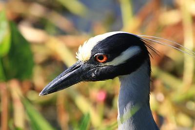 Yellow-crowned Night Heron.