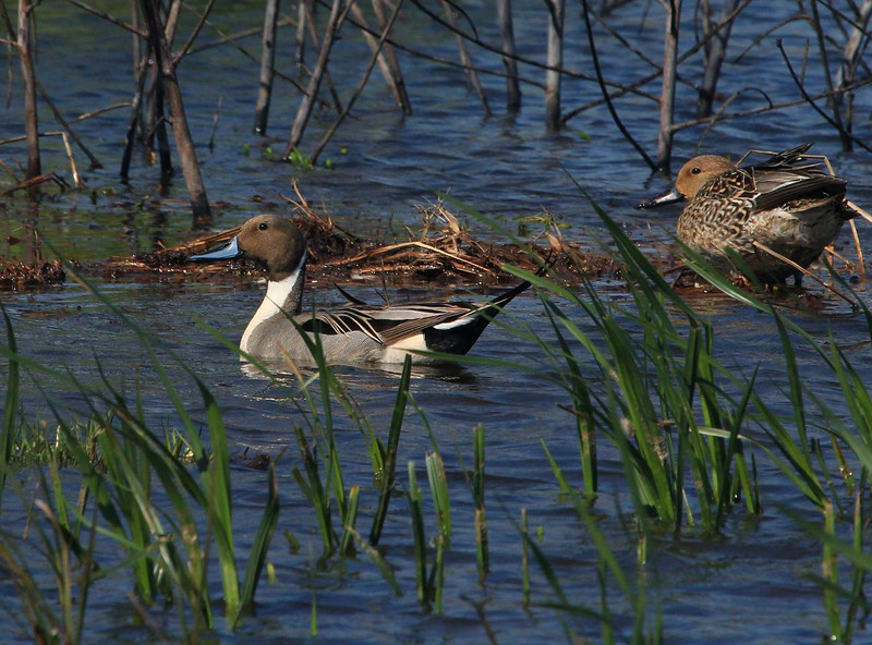 Male Pintail Duck, Rockport, 2-11-2012