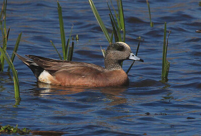 Male Wigeon, Rockport