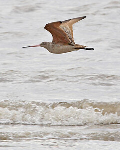 Marbled Godwit, Bolivar Flats, January 25, 2012.
