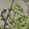 Male Reed |Bunting