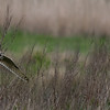 Short Eared Owl. Pagham marshes