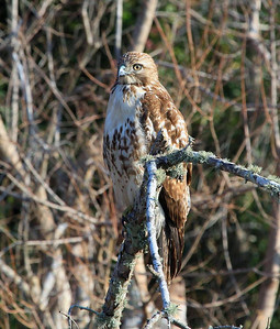 Red-tailed Hawk beside Texas Highway 35 south of Houston, 2-11-2012.