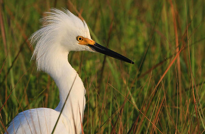 Early morning light casts a golden glow on this Snowy Egret. Galveston. Sportsman Road.