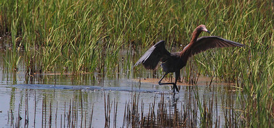 Reddish Egret fishing, Galveston