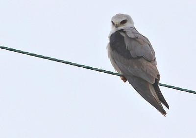 White-tailed Kite, western end of Bolivar Peninsula, January 25, 2012.