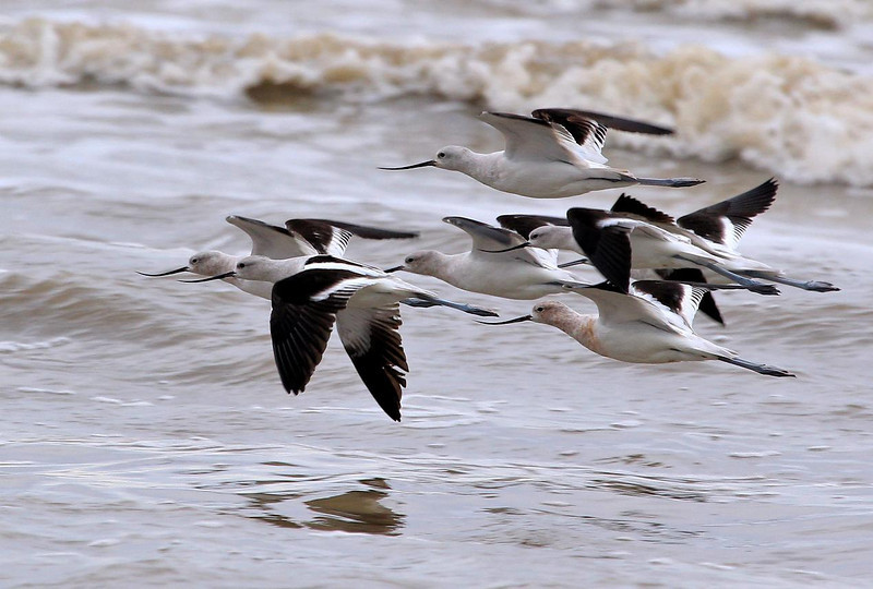 Avocets on the wing, Bolivar Flats, Texas. January 25, 2012