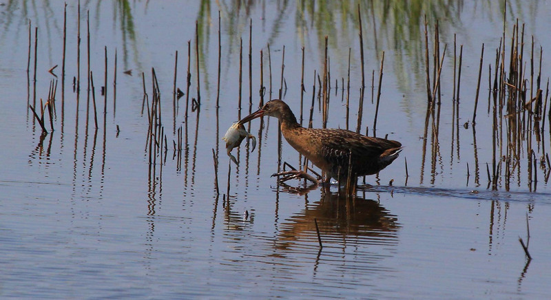 Clapper Rail takes home a crab. He walked right by the Reddish Egret, who took notice but did not harass him. Sportsman Road, Galveston, May 2012.