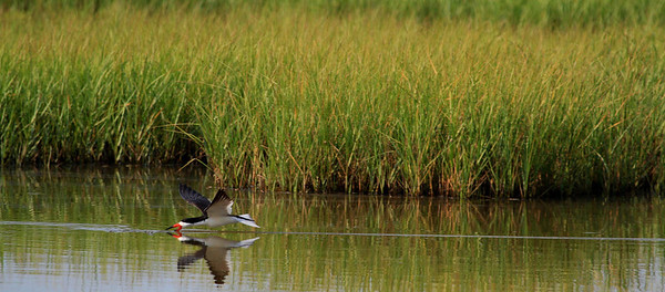 Galveston, Texas May 21, 2012. Black Skimmer fishing in a brackish water marsh pond.