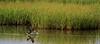 Galveston, Texas May 21, 2012. Black Skimmer fishing in a brackish water marsh pond.