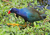 Purple Gallinule from about 15 feet away. While partially obscured it wandered within 10 feet of my position before seeing me, then it quickly hid.