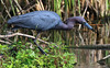 Little Blue Heron picks up a small meal.