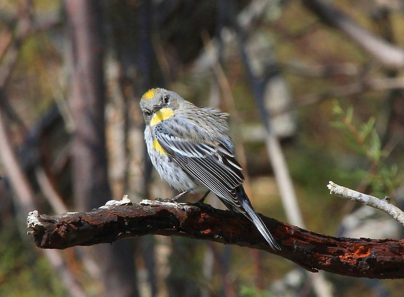 Yellow-rumped Warbler, Rockport.