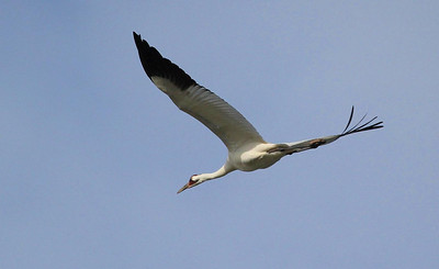 Whooping Crane in flight, Rockport, Texas Feb 11th, 2012. We saw a dozen or so in 6 hours at different locations.