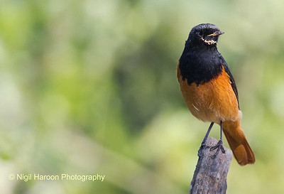Blask Redstart Male Breeding