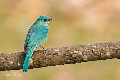 Verditer Flycatcher, Female