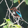 White-throated Kingfisher,  (Halcyon smyrnensis)