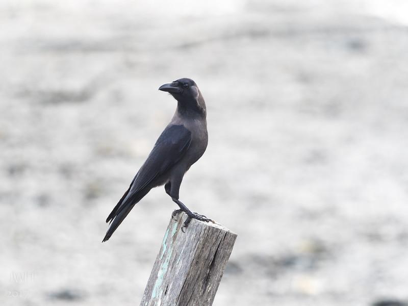 Corvus splendens
