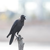 house crow (Corvus splendens), also known as the Indian, greynecked, Ceylon or Colombo crow,