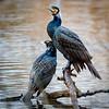 Danson Cormorants