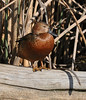 Another cinnamon teal.  They all seemed to be inflated.