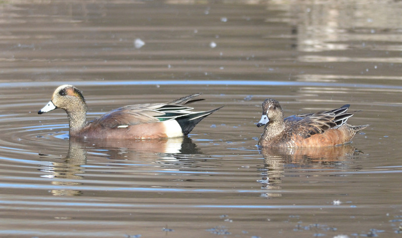 There were some American wigeons even closer than the Eurasian wigeon so we got more detailed pictures.  Note the green iridescence on one wing feather.
