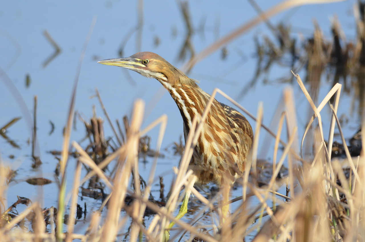The bittern looks like a predator in this picture.  The cream and brown colors on its feathers make a rich contrast in good light.