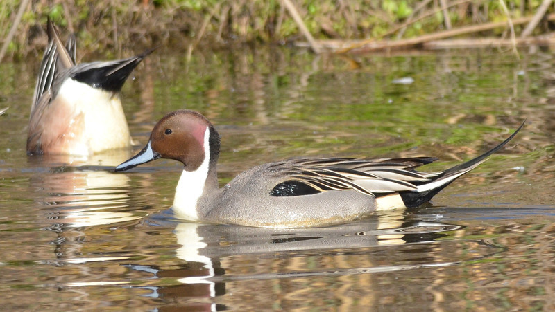 Pintails are another species we are getting to know thus year.  It takes several good exposures to a species in a short interval for us to remember the field marks and other details about a species.