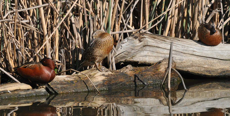 Several cinnamon teal were napping on a log near the viewing platform.  The rich red-brown color is striking, especially with good sunlight on the bird.