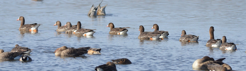 There were large groups of white fronted geese in the reserve.  This group was on a group outing, swimming purposefully past other geese that were resting.