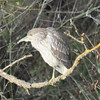 This immature heron was perched on a branch a short distance away from the colony of herons.  It looked a bit lonesome and apprehensive.